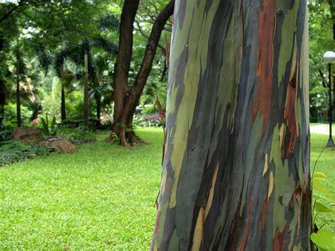 living rainbow rainbow eucalyptus most beautiful tree