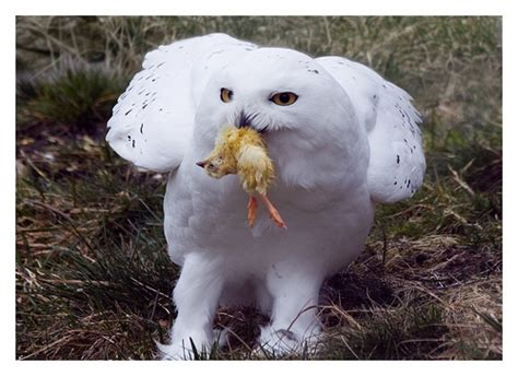 snowy owl with food highland wildlife park by