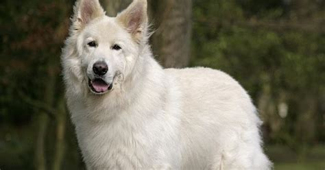 about white german shepherd how well is your white