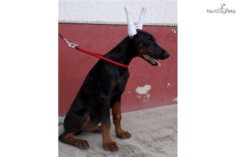 doberman puppies near me doberman pinscher puppy for sale near springfield missouri 10a32314 c421