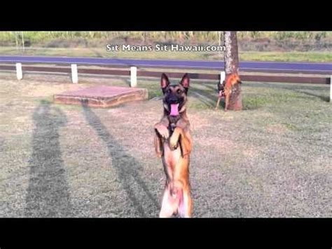 dogs back legs not working dogs that like to do stands and walk on their back legs on oahu