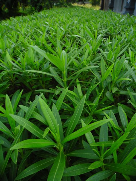 Green Plants by File Green Plants In Garland Jpg