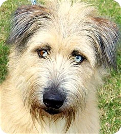 briard mix briard mix www pixshark com images galleries with a bite