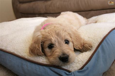 goldendoodle puppy information goldendoodle breed information buying advice photos
