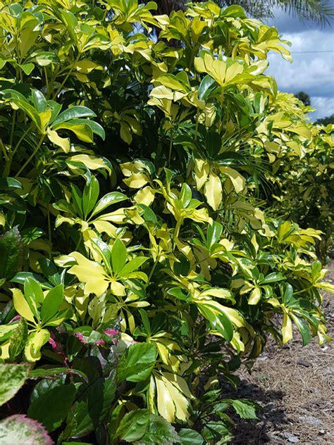 gold capella umbrella shrub schefflera arboricola urban tropicals