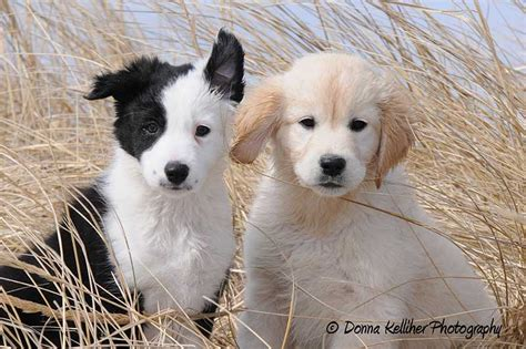 collie vs golden retriever border collie or golden retriever breeds picture