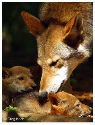 Most Beautiful States red wolves endangered wolf center