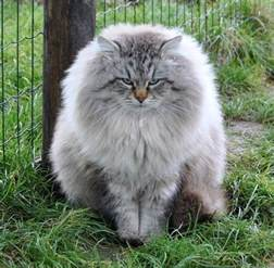 best 25 large domestic cat breeds ideas on