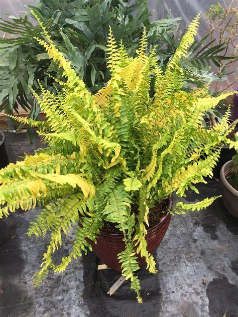 types  indoor  outdoor ferns  pictures