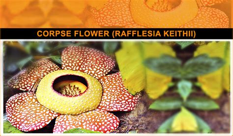 corpse flower nature at its best 10 of the strangest looking flowers ever