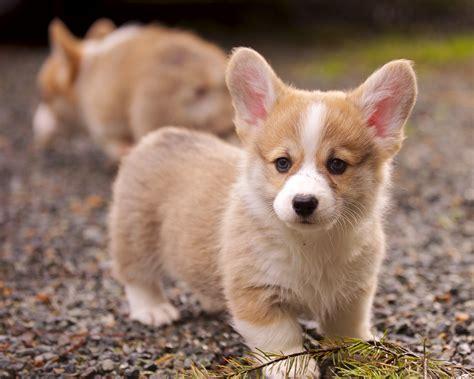 how much is a corgi puppy corgi puppies 18 daniel stockman flickr