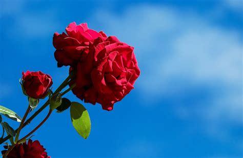 gambar bunga mawar merah  jenis tanaman terbaru
