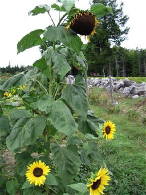 hopi black dye sunflower seeds fedco seeds hopi black dye sunflower flower seeds