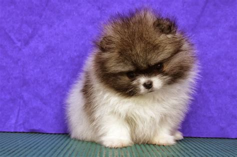 pomeranian husky puppy 25 pomsky puppies pictures and images