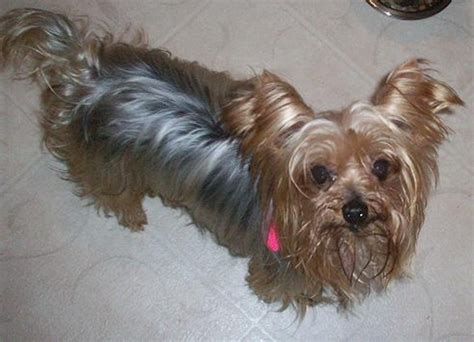 yorkie hip dislocation shih tzu rescue faqs breeds picture