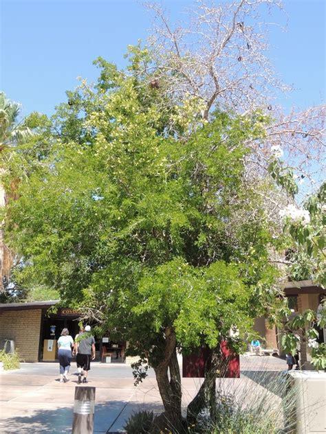Palm Desert Botanical Gardens Plantfiles Pictures Ebenopsis Ebano By Palmbob