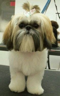 shih tzu ewok haircuts shih tzu teddy bear cut dog grooming shop my life