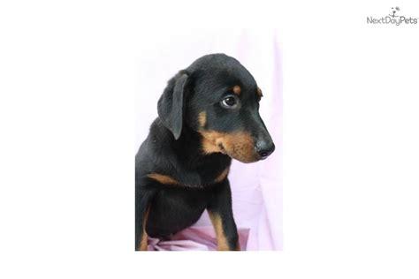 rottweiler doberman mix puppies for sale doberman pinscher puppy for sale near reading pennsylvania 0a4f479a 71b1