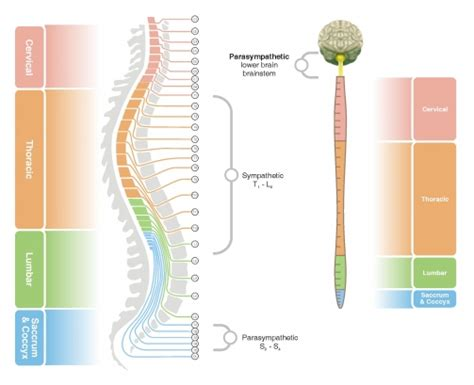 spinal cord pain after c section spinal nerves up close spinalhub