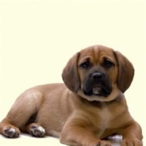 frengle puppies frengle puppies for sale in de md ny nj philly dc and baltimore