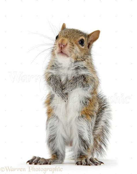 Young Grey Squirrel standing up photo - WP33617