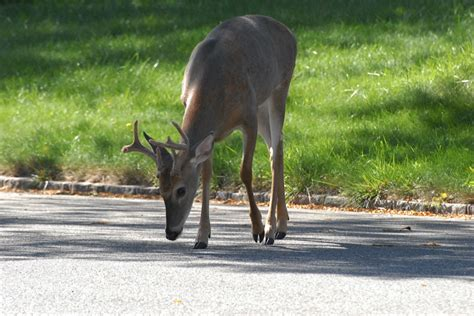 wildlife coalition takes southold to court over deer cull
