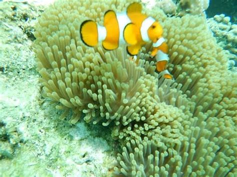 Ikan Dori ikan nemo di sabang