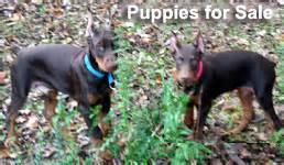 doberman puppies for sale in tn european doberman puppies for sale doberman puppies european doberman
