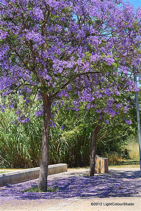 light colour shade summer colours flowering trees the blue jacaranda jacaranda mimosifolia