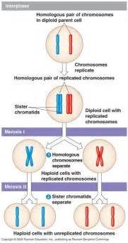 Biology pictures steps of meiosis