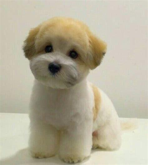 Bichon Shihtzu Puppy Cut | bichon shih tzu mix perfectly groomed pinterest