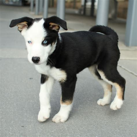 husky lab mix puppies labrador retriever mixed husky breeds picture