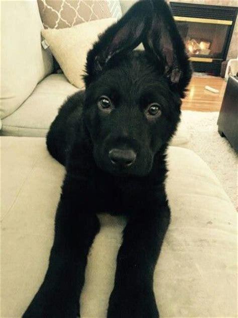 black german shepard puppies 17 best ideas about black german shepherd puppies on