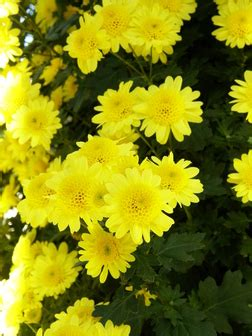 Anemone Megumi chrysanthemum x morifolium megumi