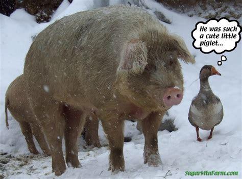 pig puppy pet pigs sugar mountain farm