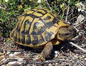 alimentazione tartaruga terrestre 1000 images about testudo tortugas terrestres turtles