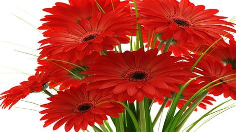 margaridasgerberas bouquet  red flowers wallpaper hd