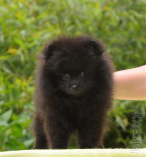 buy mini pomeranian sold dogs miniature pomeranian spitz buy on www bizator