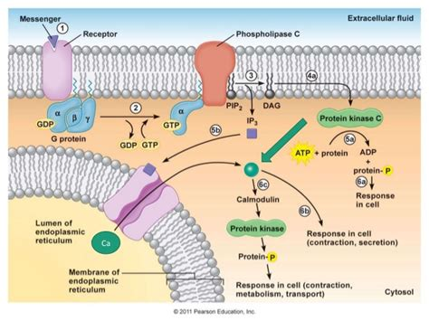 g protein coupled receptors function g protein coupled receptor