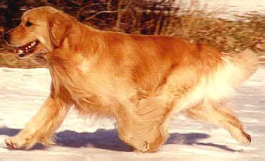 goodtime golden retrievers casey goodtime golden retrievers