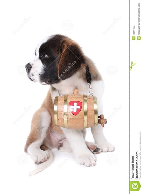 st bernard puppies rescue a bernard puppy with rescue barrel royalty free