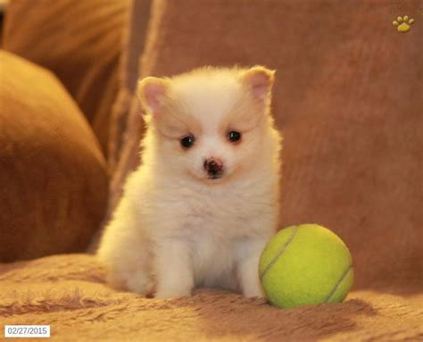pomeranians for sale in pennsylvania 1000 images about pomeranians on