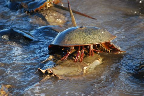 house shoe crab video horseshoe crabs mate in annual beach orgy focusing on wildlife