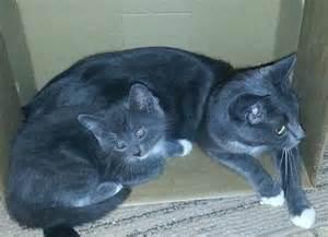 blue kittens for sale grey blue kitten for sale for sale in felixstowe suffolk