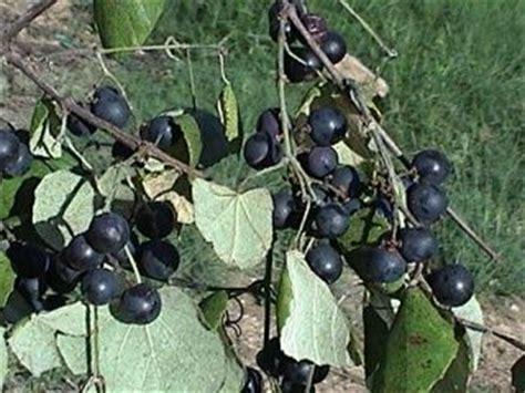 mustang grape wine mustang grape wine looking foods drinks