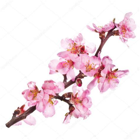 fiori di das fiori di mandorlo rosa foto stock 169 vanazi 27606159