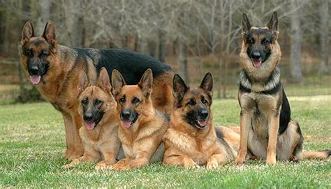 german shepherd puppy facts facts about german shepherd 9 facts discussed pets world