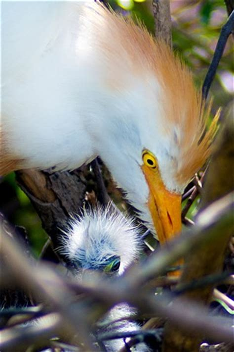 cattle egret (bubulcus ibis) nest with chick: guidenet