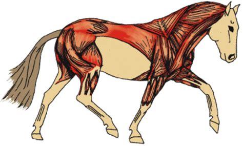 horses muscles diagram pin horses muscles diagram cake on
