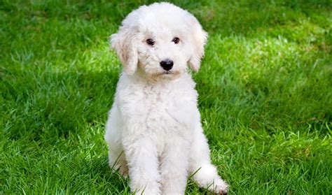 labradoodle dogs labradoodle breed information